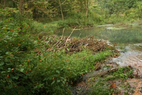 beaver dam, small
